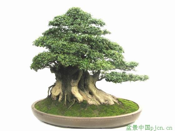 对节木盆景造型